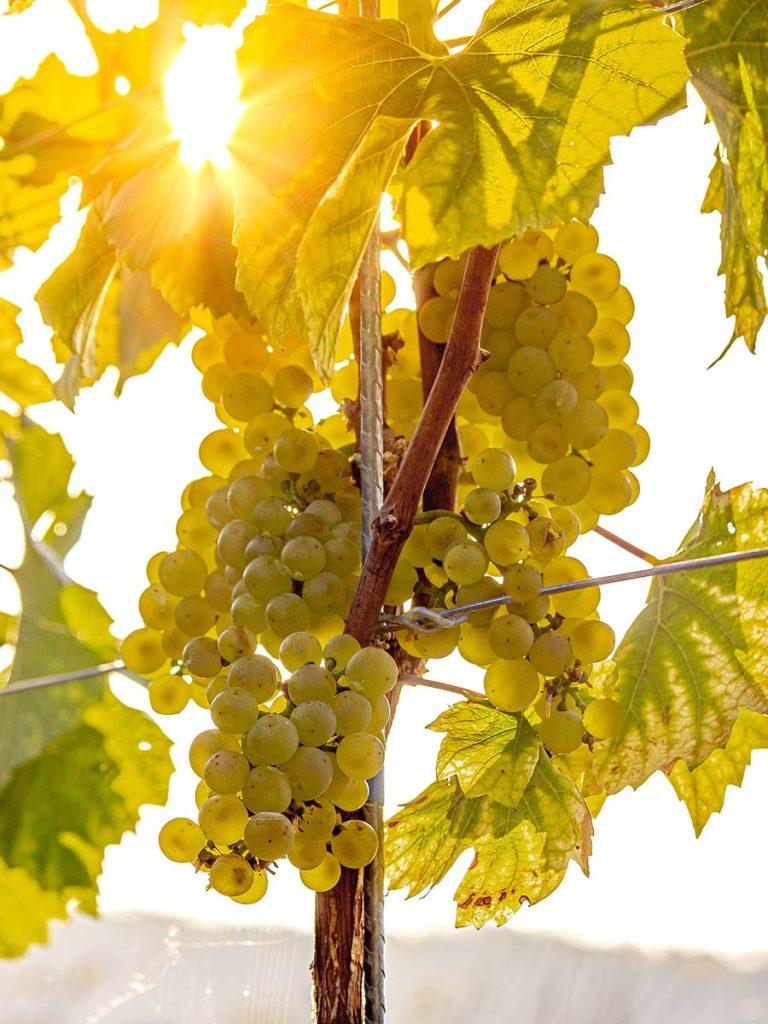Traube Weissburgunder Chardonnay Fasskollektion Kaiserstuhl